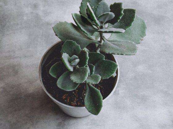 succulent plant on pot